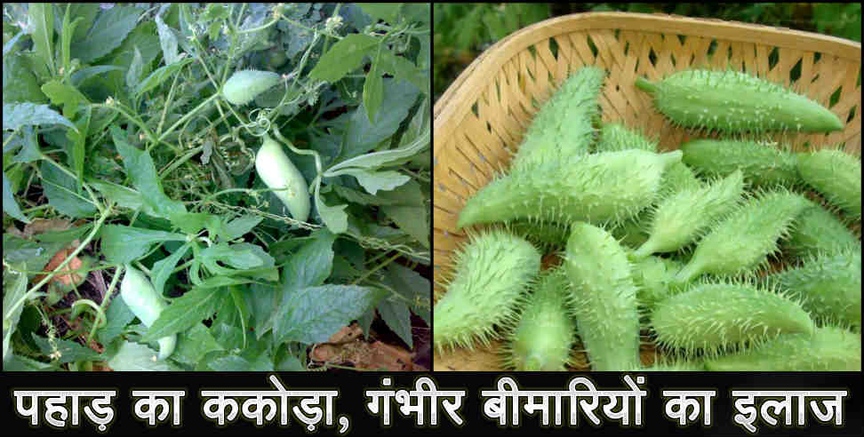 Image: benefits of kakora meetha karela