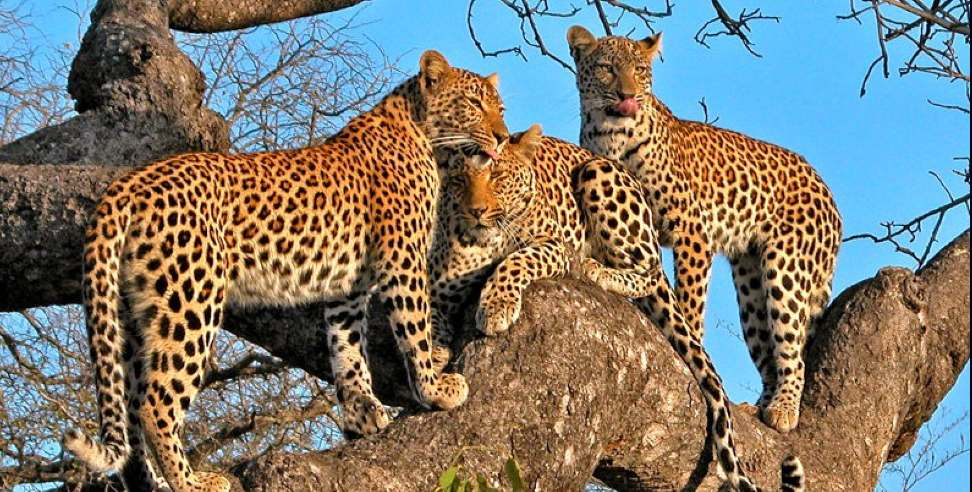 Image: 3 lepers seen in Harinagari Leopard