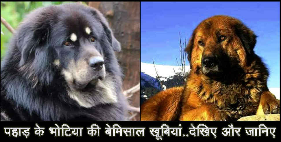 Image: information about bhotia breed dog of uttarakhand