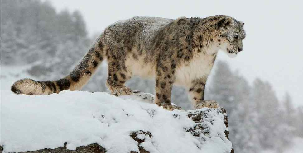 Image: Population of snow leopard increasing in uttarakhand