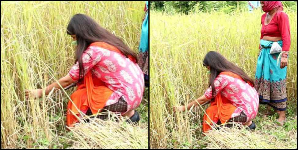 Image: DM Vandana harvested crop in the field