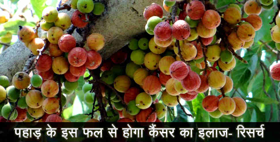 Timla fruit is beneficial for health says research - तिमला का फल, कैंसर, उत्तराखंड न्यूज ,उत्तराखंड,