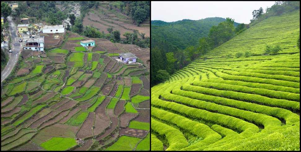 Image: Tea gardens will be built in Gairsain