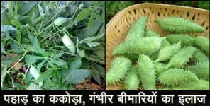 uttarakhand news: benefits of kakora meetha karela