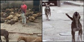 stray dogs killed sheep in Udham Singh Nagar