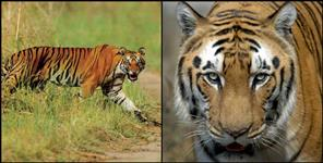 dehradun: Tiger killed four forest workers in one year