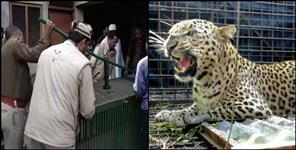 Leopard entered in house people lock him in room