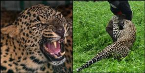 pithoragarh: Leopard killed old age man in rudraprayag