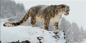 Population of snow leopard increasing in uttarakhand
