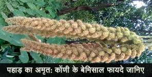 healthandlife: benefits of kauni crops