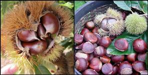Benefit of Chestnut fruit uttarakhand