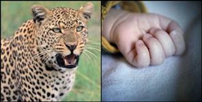 pithoragarh: Leopard kill child in berinag