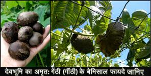 almora: Uses and benefits of gethi