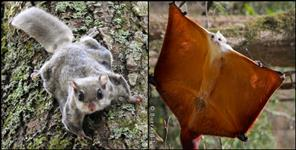 Flying squirrel found in Corbett national park