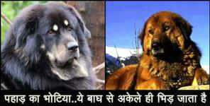 information about bhotia breed dog of uttarakhand