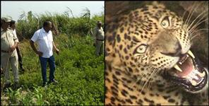 latest uttarakhand news: leopard attack women in rudraprayag
