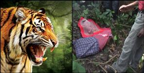 Tiger attack on elderly in Nainital