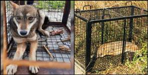 Forest Department caught 8 jackals and 1 wolf at Jolly Grant Airport