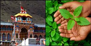 बदरीनाथ: This miraculous plant is present in Badrinath shrine.