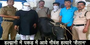 kumaouni: cruality against cow neat cattle in haldwani uttarakhand