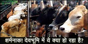 COW Trafficking IN UTTARAKHAND
