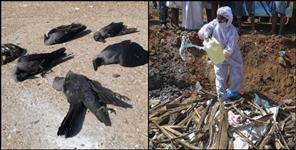 paurigarhwal news : Dead birds found in Srinagar Kotdwar Kirtinagar