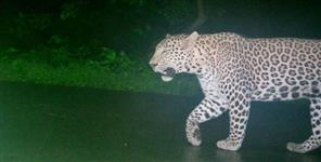 Leopard seen near palam city haldwani